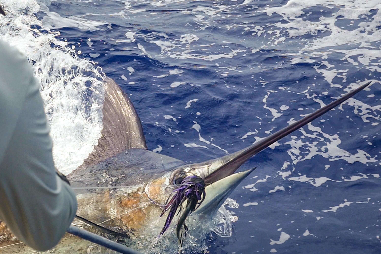 Bermuda Marlin Fishing